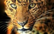 Serie Leopardos, de Christine Feehan